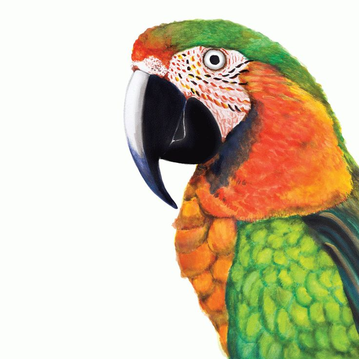 Percy the Parrot Giclee Print For Me By Dee