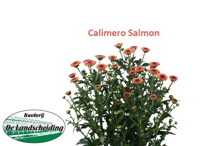 Calimero salmon