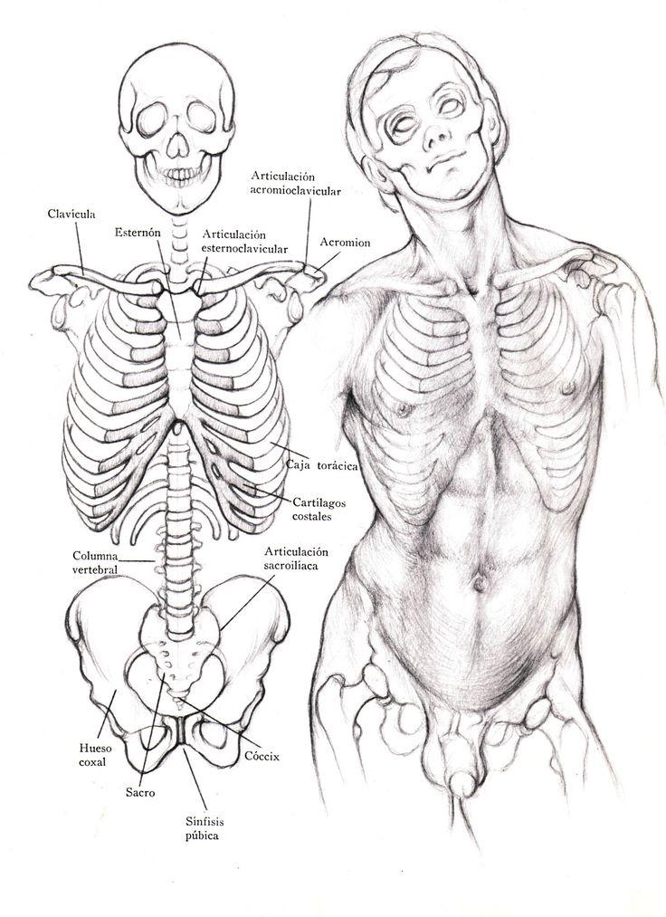 El Tronco: Los huesos del tronco son los que integran la caja torácica, unidos firmemente a la columna vertebral, que se halla situada en el eje central. A este conjunto unitario se le añade la cintura torácica formada por la clavícula y la escápula, y la cintura pelviana o pelvis.