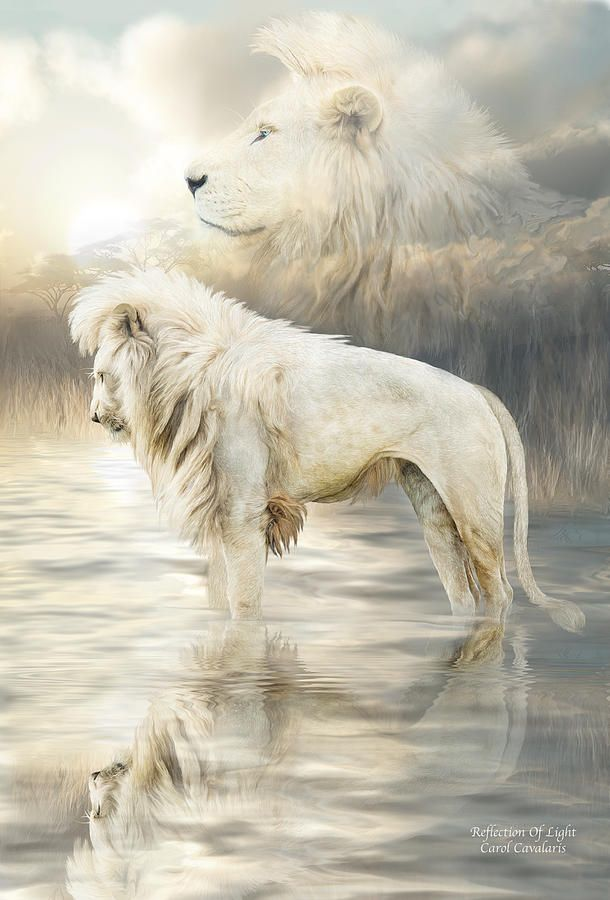 White Lion - Reflection Of Light Print by Carol Cavalaris