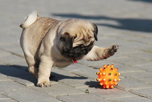 Cute Pug Puppy playing with a toy