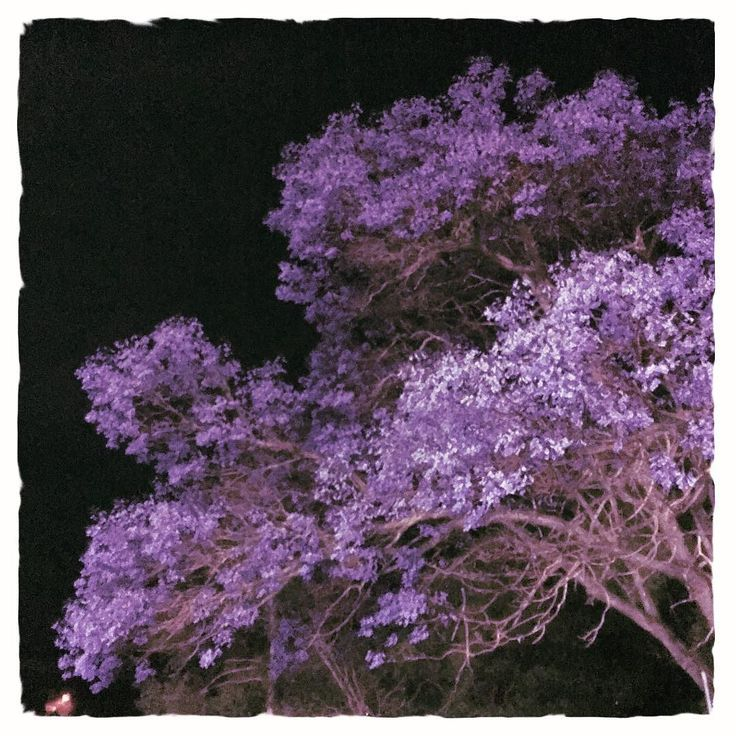 Jacaranda at night - it's amazing how their blue flowers seem to always glow no matter the light.