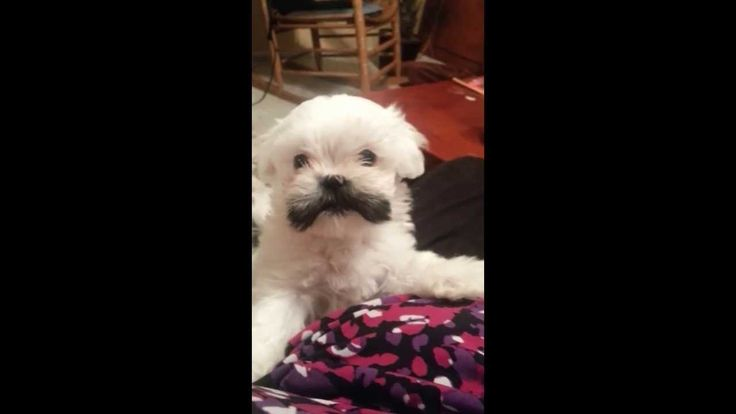 Cutest Puppy Girl Mustache -Charlee Pringles .mp4