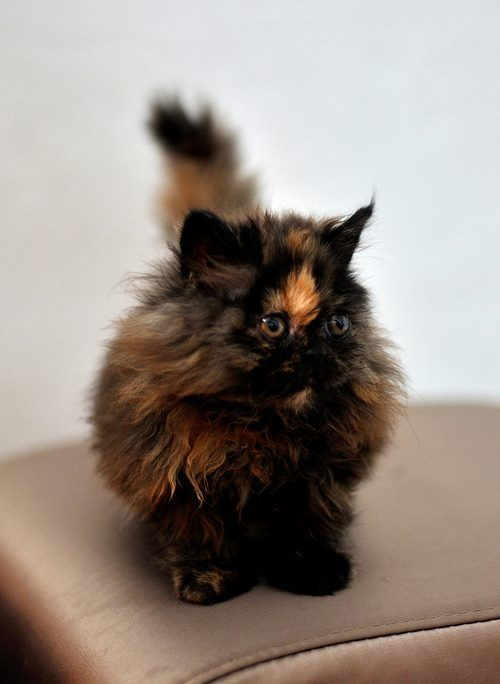 Matilda as a kitten soot sprite. cat calico  tortie   tortoiseshell