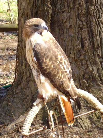 Red Tailed Hawk. According to some traditions, the hawk appears to those who are beginning to grow in their awareness and understanding and who desire to make the world a better place for all beings. Being in recovery is about growing and learning and making your corner of this earth better, so I give this red tailed hawk to you to remember to be strong and have hope in your recovery