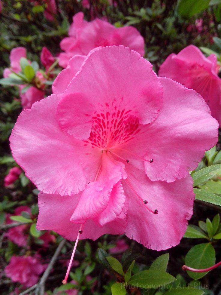 Biflora pink flowers