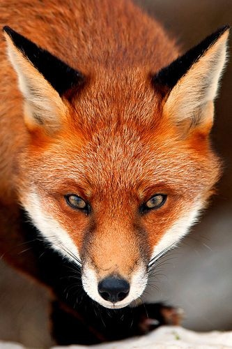 fox, close up