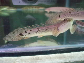17 best images about polypterus on pinterest palmas for Bichir fish for sale