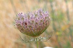 https://www.ecosia.org/images?p=8&q=fleurs+de+carotte#