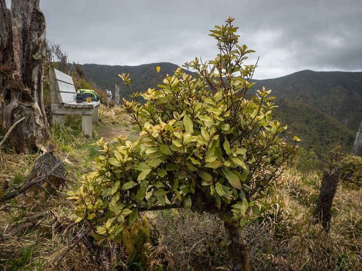 The shrub's a horopito — mountain pepperwood (Pseudowintera colorata) — one of the most abundant shrubs in this altitudinal zone. The weather's pretty typical, too. The Ruins of the Moment — Photos by Pete McGregor