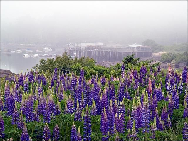 Wild lupines in Maine