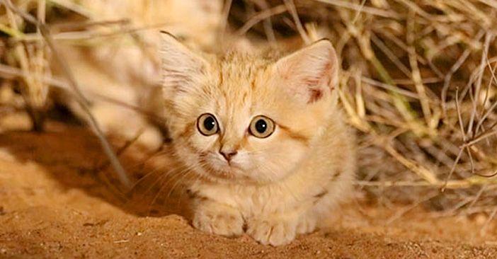 アフリカで初めて発見された 野生のスナネコの子猫達 3兄弟の愛らしい仕草に 心がホッと温まる W エウレカ Eureka もふもふ犬猫動画 スナネコ 子猫 猫 子猫