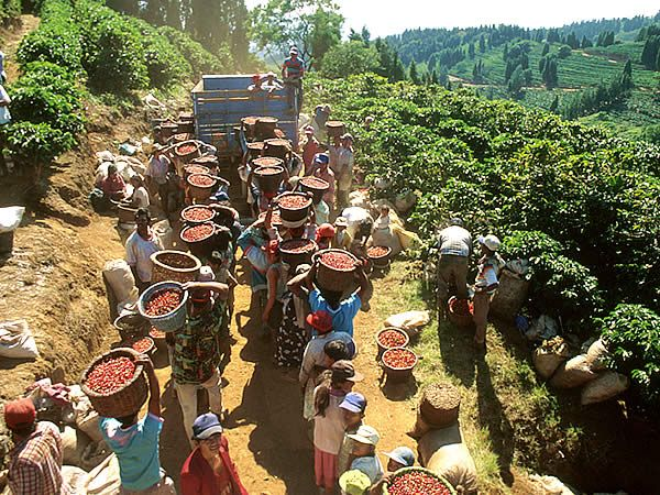 Tour a la plantación de Café, Macadamia y Caña de Azúcar
