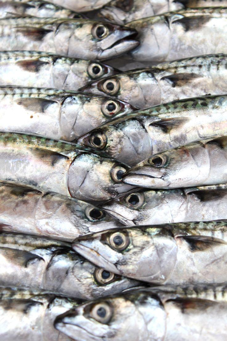 Great baitfish for pike.  Makreel, ideaal voor het vissen op snoek.