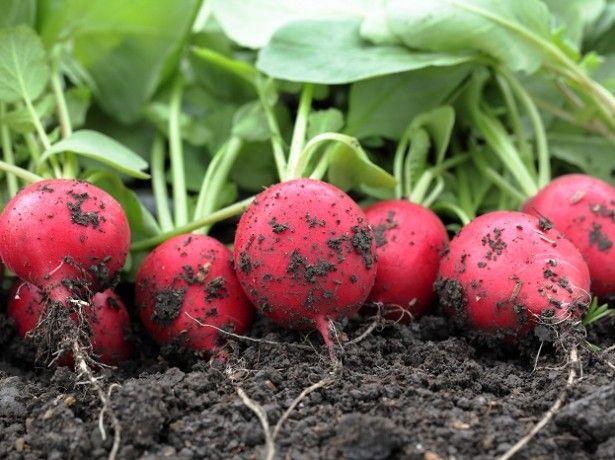Как сажать редиску. ❶ Редис, Перец. Как сажать редиску Самым быстрорастущим овощем, безусловно, является редиска. Она полезна,вкусна и очень любима многими огородниками.Получить первый урожай