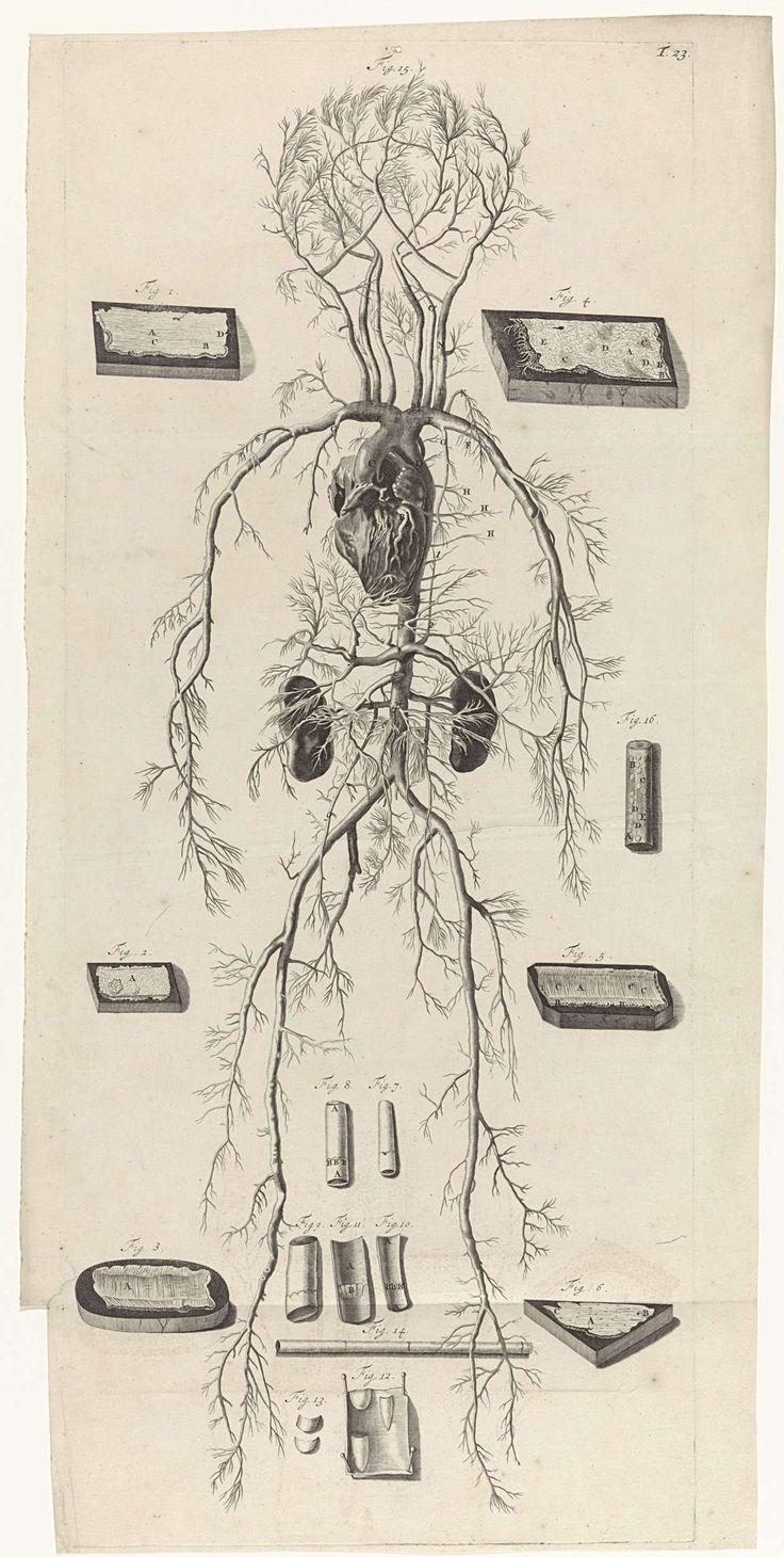 Anatomische studie van de bloedvaten en de bloedsomloop, Pieter van Gunst, 1685