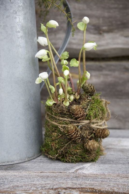 Hellebores in a nest of moss and pine cones, tied together with florist wire and string. Lovely