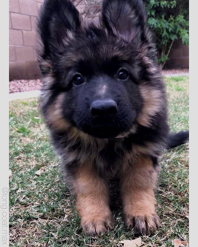 Max Might Have Been The Cutest Puppy Ever Long Coat Max Germanshepherd Germanshepherds Cutest Puppy Ever German Shepard Puppies Cute German Shepherd Puppies