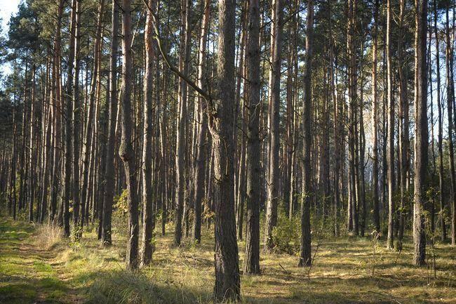 Zmiana przeznaczenia terenu w miejscowym planie zagospodarowania nie uprawnia do wyłączenia gruntów leśnych z produkcji.