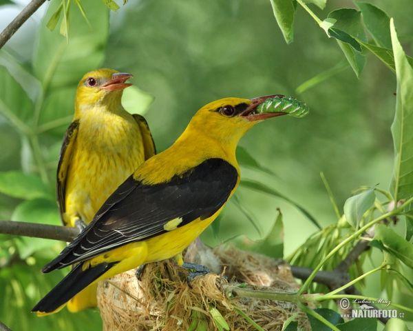 Wielewaal zangvogel
