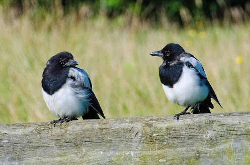 As the song goes...............    One for sorrow, two for joy................    A pair of sorry looking Magpies.Songs Goes, Songs Hye-Kyo