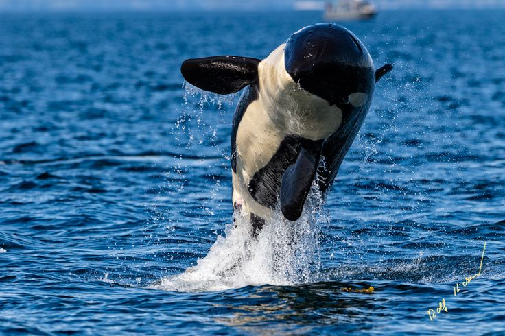 Visit the page and turn on your speakers! Northern resident killer whale breaching in front of Swanson Island off Northern Vancouver Island, British Columbia, Canada. © Rolf Hicker Photography and Vancouver Island Photo Tours https://www.facebook.com/viphototours/videos/2006529042912213/ © Rolf Hicker Photography