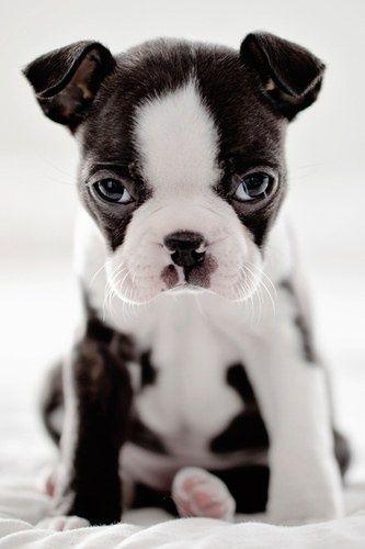 Baby Boston Terrier adorableness.