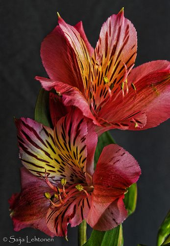 Alstroemeria (or Alstremeria), commonly called the Peruvian lily or lily of the Incas, is a genus of flowering plants in the family Alstroemeriaceae. They are all native to South America.