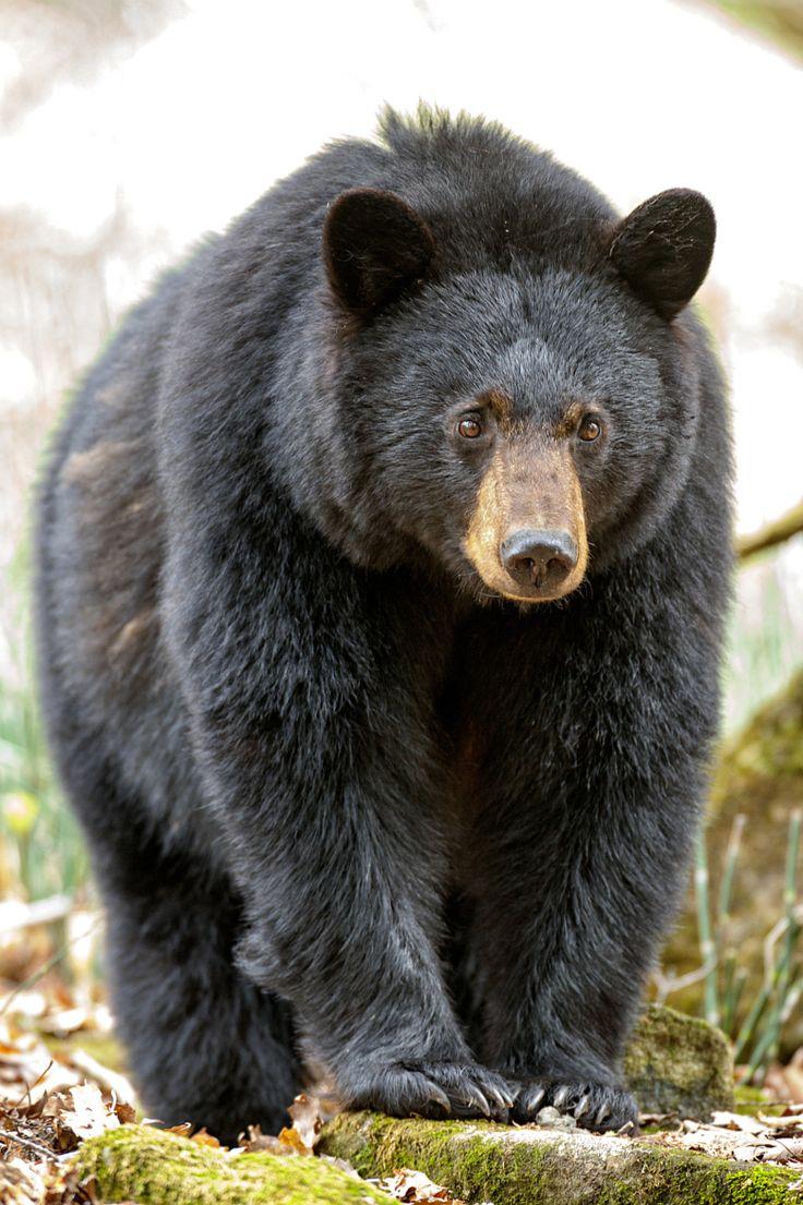 Black Bear by Jérémie Leblond-Fontaine on 500px°° L'Ours noir (Ursus americanus) est bien adapté pour vivre dans de nombreuses régions du Canada. Malgré son apparence corpulente et maladroite, il peut courir à plus de 55 km à l'heure, C'est également un excellent nageur.