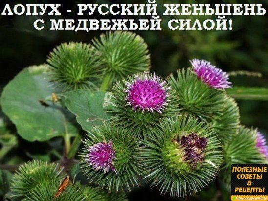 ЛОПУХ — РОССИЙСКИЙ ЖЕНЬШЕНЬ.
