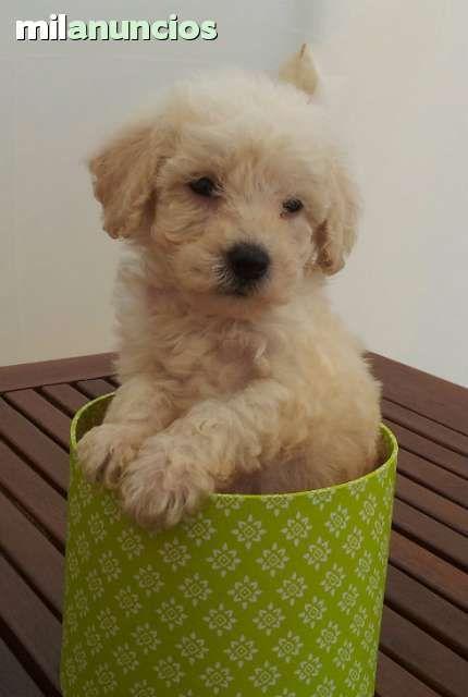 MIL ANUNCIOS.COM - Caniche toy apricot. Compra-venta y regalo de mascotas caniche toy apricot