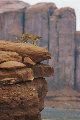 A mountain lion pauses at the edge of a cliff. Location: Monument Valley, Navajo Tribal Park, Arizona.  Photographer:NORBERT ROSING/ National Geographic Stock