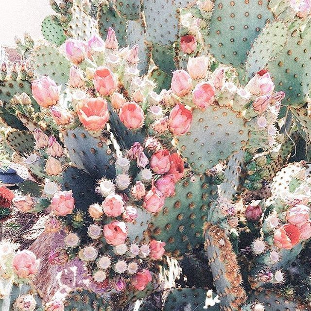 Someone please tell me where I can find this magical plant!! It is a prickly pair Cactus...