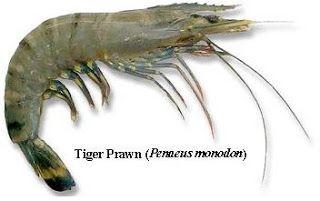 Shrimp Farming: SHRIMP SPECIES AND THEIR SUITABILITY