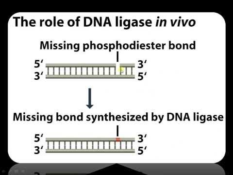 Function of DNA Ligase in Recombinant DNA technology