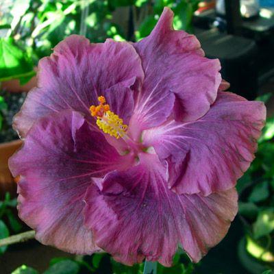 Hibiscus 'Bluebird'