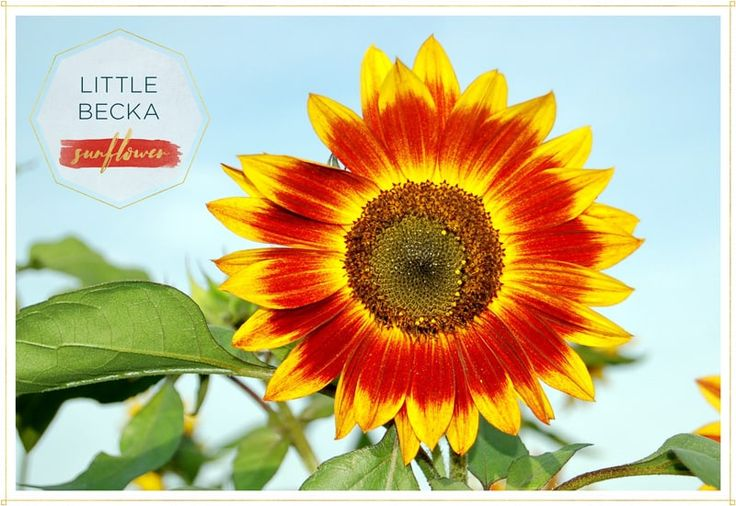 """""""Little Becka"""" only grows to 2' tall. Do you love Sunflowers like we do? Here are 15 stunning types of Sunflowers for you to grow from classic to unusual types. There are lots of beautiful pictures to help you make a choice. #flowers #garden #gardening"""