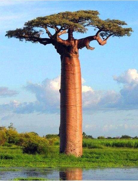 South African Baobab Tree
