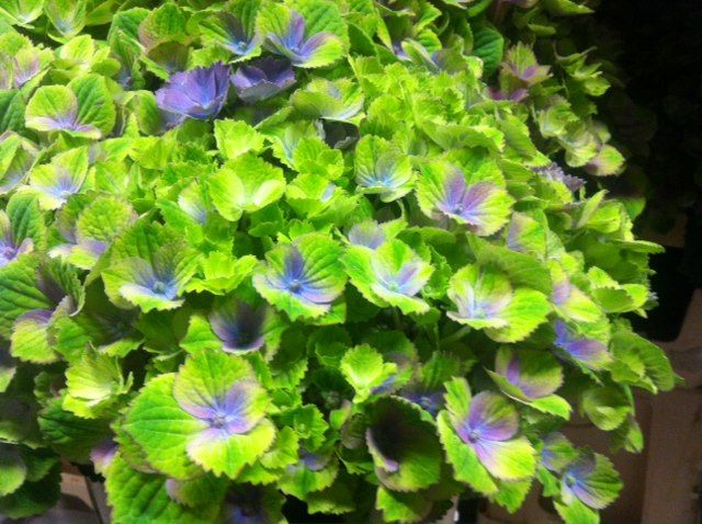 Hydrangea Magical Amathyst green-lavender 2-tone www.vandijkbloemen.nl