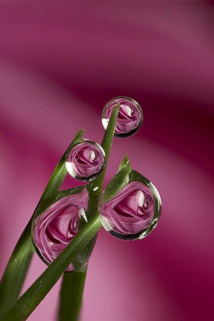 Rose dewdrop flower refraction #7 by  Brian Valentine via Flickr
