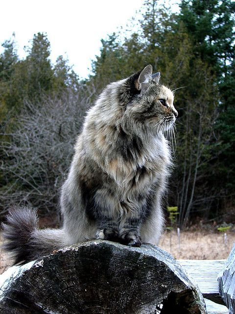 Maine Coon Cats shed their thick manes in the summer. As winter starts to approach the mane starts to fill out in anticipation of cold weather to come. Winter coat by Hodgey, via Flickr