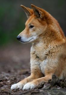 A Dingo ~ The Native Wild Australian Dog.           (#Australia #dingo Australian Discount Club.  http://www.kangadiscounts.com )