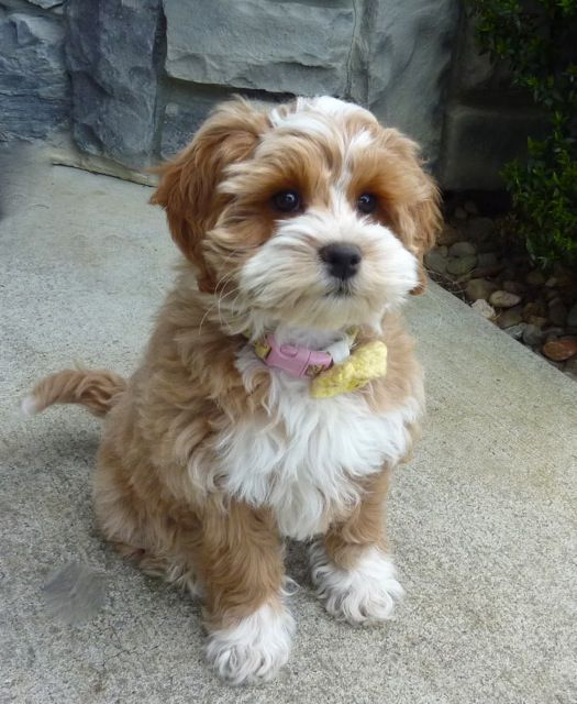 cockapoo | Suki lives with her Guardian Family,