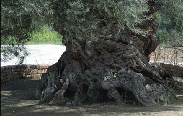 Στην Κρήτη από τα αρχαιότερα δένδρα στον κόσμο. Ελιές ηλικίας 9.000 ετών που ακόμα βγάζουν καρπούς. ~ diadrastiko