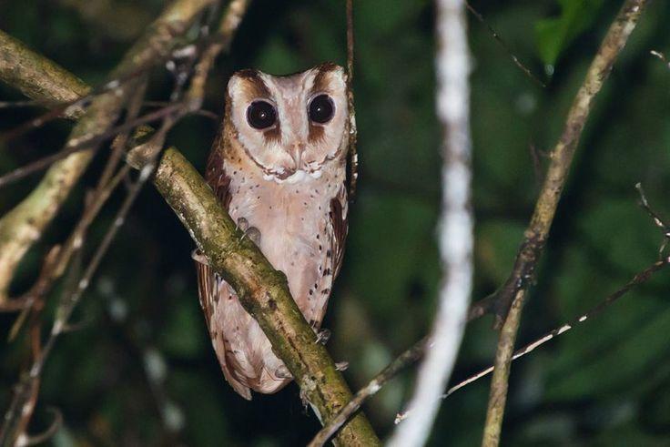 Oriental Bay Owl Species - Khao Yai National Park