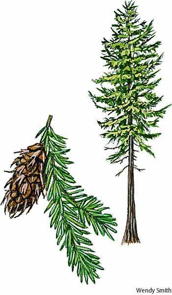 Douglas-fir (Pseudotsuga menziesii). This conifer is not a true fir, i.e., not a member of the genus Abies.