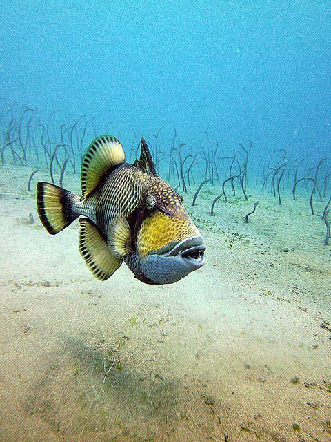 "Titan Trigger Fish ~ by Philip Gredig ~ Miks' Pics ""Sea Life ll"" board @ http://www.pinterest.com/msmgish/sea-life-ll/"