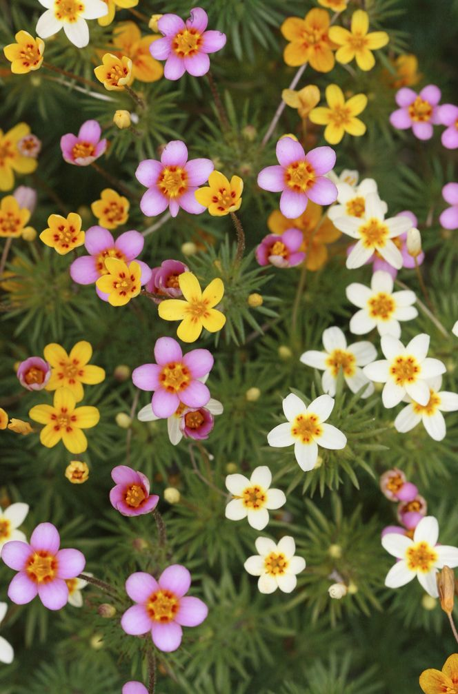 Leptosiphon androsaceus, is a species of flowering plant in the phlox family known by the common name false babystars. Claifornia native, annual but self sows, all zones