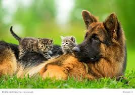 Bildergebnis für deutsche schäferhunde