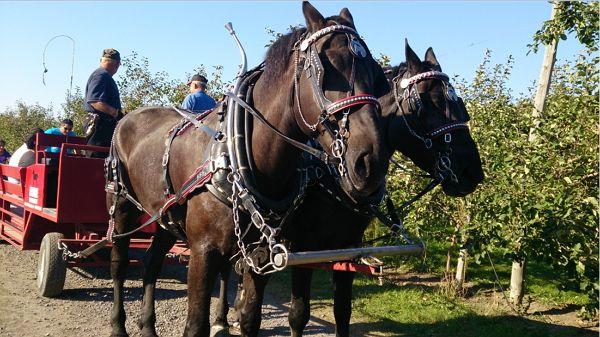 Journée aux pommes et une balade en chariot tiré par des chevaux à Mont-Saint-Grégoire en Montérégie #monteregie #montsaintgregoire #pomme